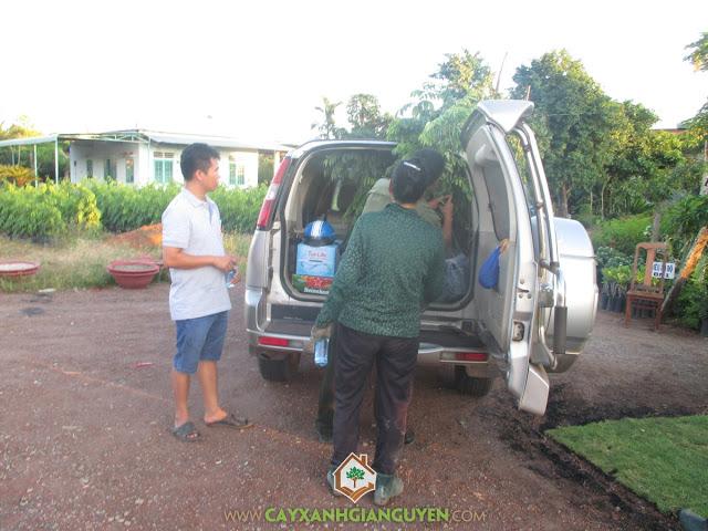 Công ty cây xanh Gia Nguyễn, Sưa đỏ, Cây sưa đỏ, Gỗ sưa đỏ, Chăm sóc cây giống