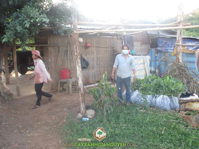 Công ty cây xanh Gia Nguyễn, Cây gáo vàng, Gáo trắng, Cây tỷ phú, Cung cấp cây giống