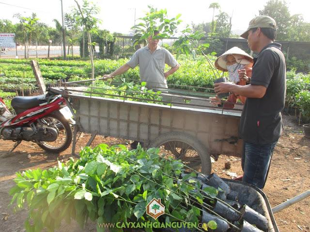 Công ty cây xanh Gia Nguyễn, Cây sưa đỏ, Cây giáng hương, Cây giống, Gỗ sưa đỏ