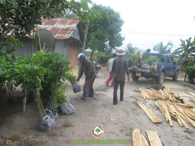 Công ty cây xanh Gia Nguyễn, Cây gió bầu, Cây sưa đỏ, Hoa cây sưa đỏ, Gỗ cây sưa đỏ