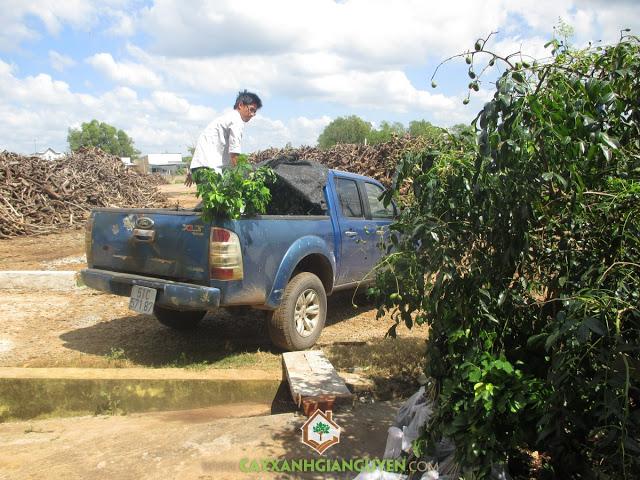 Công ty cây xanh Gia Nguyễn, Cây gõ đỏ, Gỗ gõ đỏ, Cung cấp giống cây trồng, Giống cây