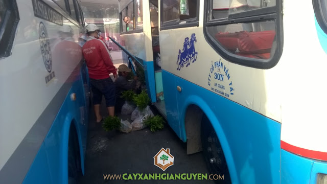 Cây keo lai, Công ty cây xanh Gia Nguyễn, Vườn ươm tỉnh Bình Phước, Giống cây trồng, Keo lai