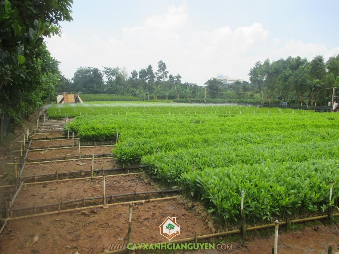 Cây Keo Lai, Quá trình trồng và chăm sóc, Chăm sóc cây Keo Lai, Keo Lai, Gỗ của Keo Lai
