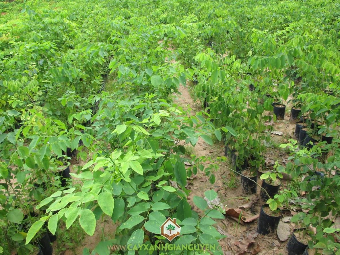 Cây Xanh Gia Nguyễn, Cây Gỗ Quý, Gỗ Trầm Hương, Gỗ Sưa, Gỗ Trắc