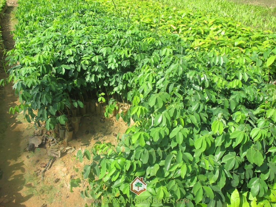 Gõ đỏ, Cây Gõ Đỏ, Trồng cây Gõ Đỏ, Vườn Ươm Cây Xanh Gia Nguyễn, Cây Xanh Gia Nguyễn
