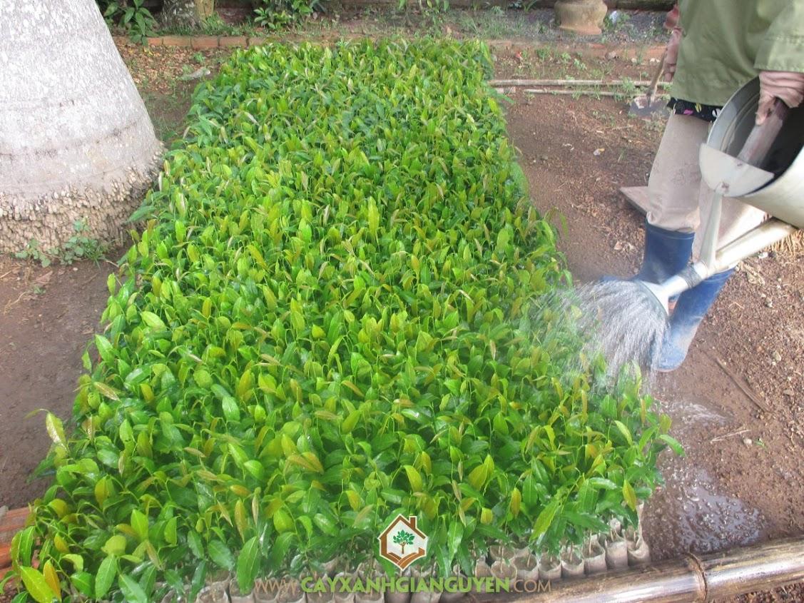 Cây Hoàng Nam, Giống cây Hoàng Nam, Cây Xanh Gia Nguyễn, Gỗ cây Hoàng Nam, Cây Huyền Điệp