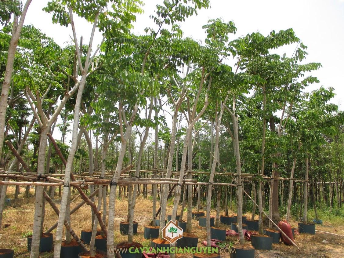 Giáng Hương, Cây Xanh Gia Nguyễn, Vườn Ươm Cây Xanh Gia Nguyễn, Cây giống Giáng Hương, Cây giống