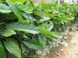 Cây Gáo Vàng, Cách trồng cây Gáo Vàng, Cây Xanh Gia Nguyễn, Gỗ Cây Gáo Vàng, Trồng Cây Gáo Vàng