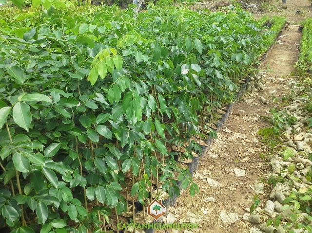 Kỹ Thuật trồng cây gõ đỏ, Cây gỗ gõ đỏ, Cách trồng cây gõ đỏ tại vườn nhà, Chất lượng của cây gỗ gõ đỏ, Chăm sóc cây con