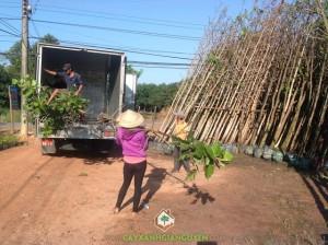 Công ty Cây Xanh Gia Nguyễn, Cây Dầu Rái, Cây giống lâm nghiệp, Cây giống chất lượng, mua giống cây trồng