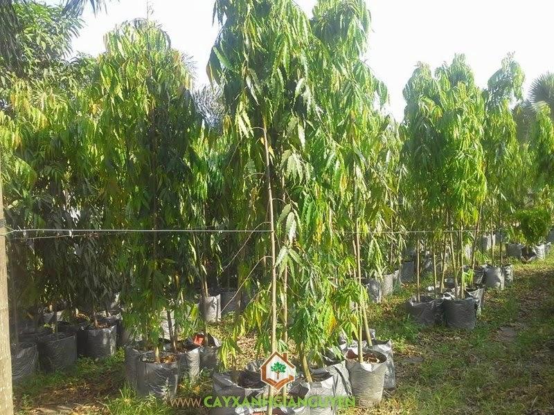 Cây Hoàng Nam, Cây xanh đô thị, Trồng cây Hoàng Nam, Hoàng Nam, Cây gỗ thường xanh