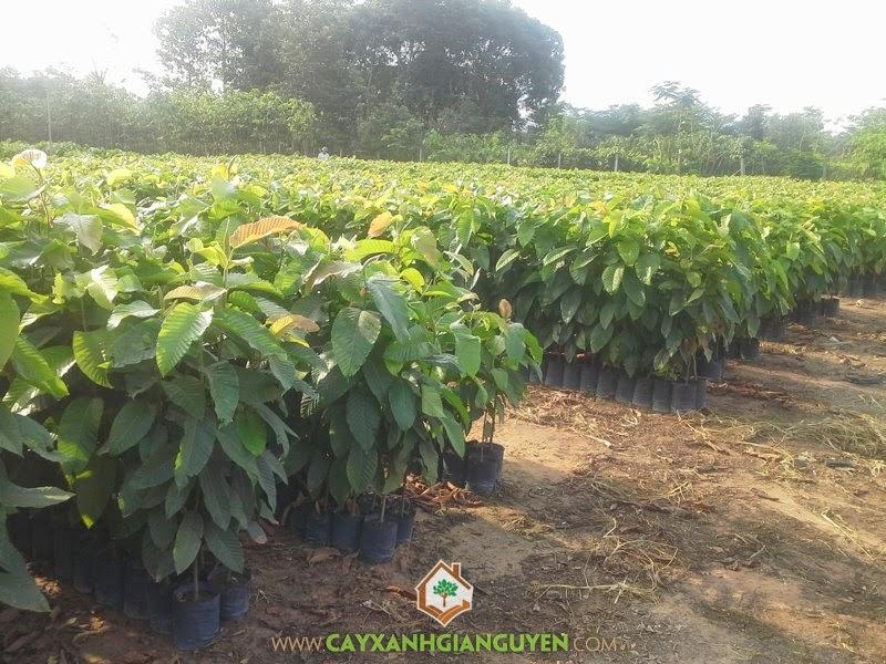 Dầu Rái, Cây Dầu Rái, Cây Xanh Gia Nguyễn, Bán cây giống Dầu Rái, Nhựa của cây Dầu Rái