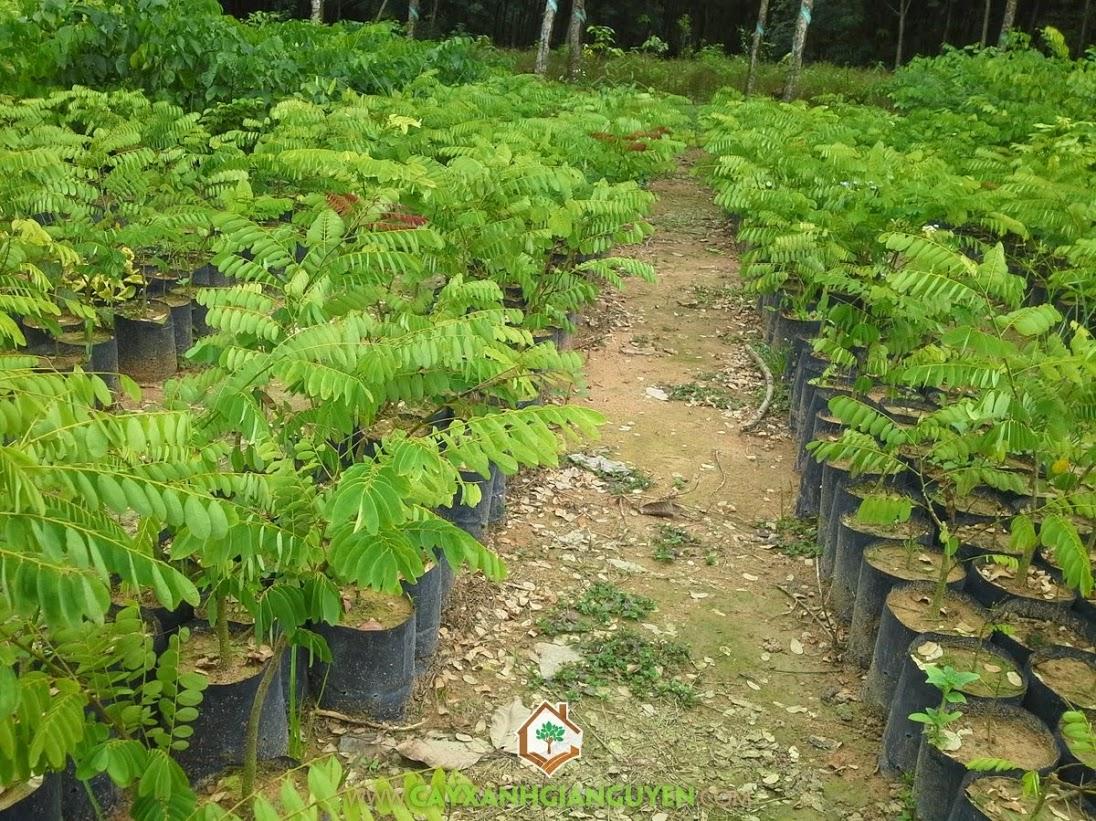 Kỹ thuật trồng cây Cẩm Lai, Cẩm Lai, Cây Cẩm Lai, Cách trồng cây Cẩm Lai, Cẩm Lai giống