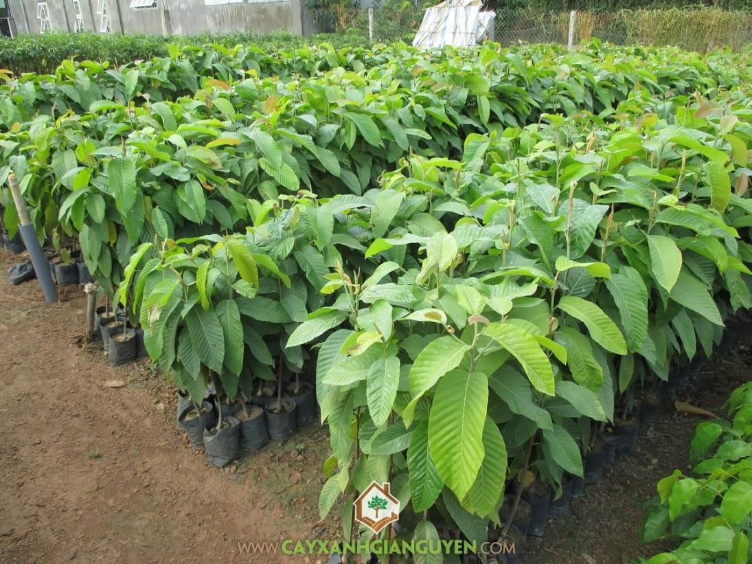 Cây Dầu Rái, Mua cây Dầu Rái, Vườn ươm của Cây Xanh Gia Nguyễn, Cách trồng và chăm sóc cây Dầu Rái, Giá của cây Dầu Rái