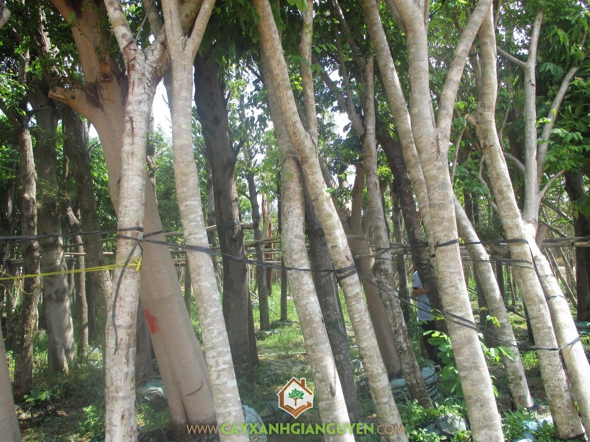 Cây Giáng Hương, Cây lâm nghiệp, Cách trồng cây giáng hương, Kỹ thuật trồng cây giáng hương, Giáng Hương