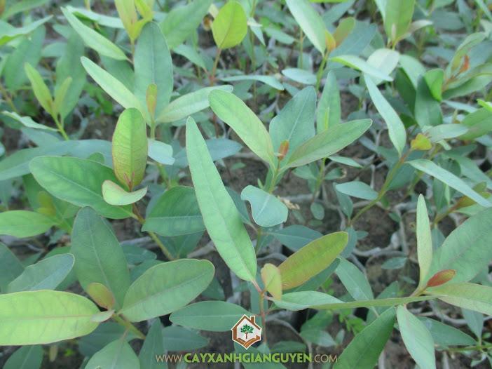 Cây Khuynh Diệp, Cây  Bạch Đàn, Cây Bạc Hà, Eucalyptus