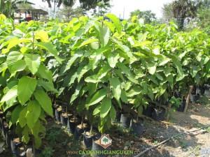 Cây Dầu Rái, Trồng Cây Dầu Rái, Chăm sóc cây, Dầu Rái, Kỹ thuật trồng cây dầu rái