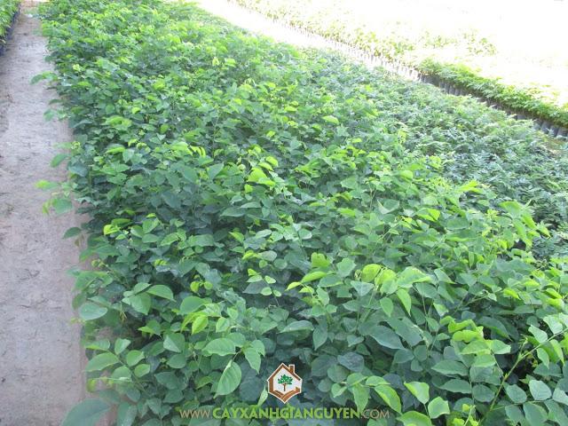 Giáng Hương, Trồng và chăm sóc cây giáng hương, Phòng trừ sâu bệnh, Chăm sóc cây giáng hương, Trái giáng hương