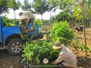 Giống cây lâm nghiệp, Cây lâm nghiệp, Bán giống cây trồng lâm nghiệp, Giống cây ươm, Nông nghiệp