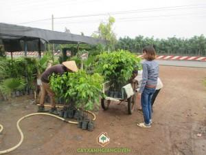 Giống cây Sao Đen, Cây Sao Đen, Công ty Cây Xanh Gia Nguyễn, Giống cây trồng, Kỹ thuật trồng