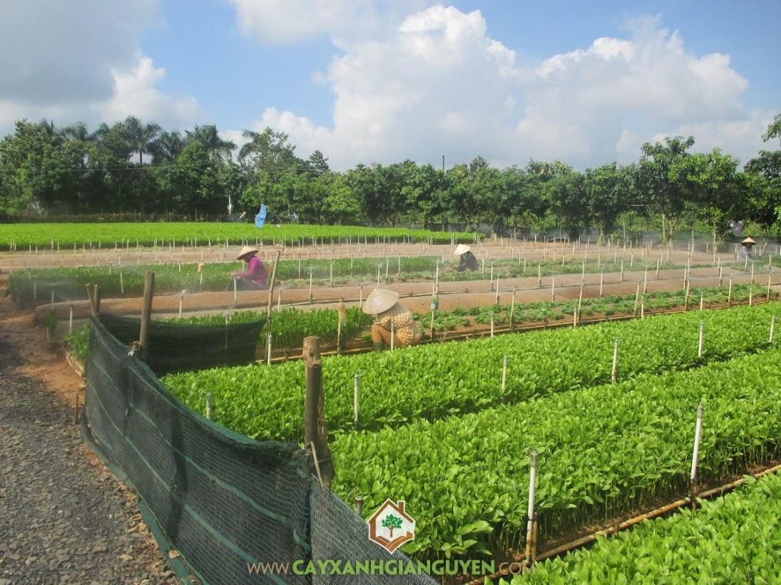 Cây Keo Lai, Chăm sóc Keo, Keo, Biện pháp phòng chống cho cây, Vườn trồng bằng cây giống