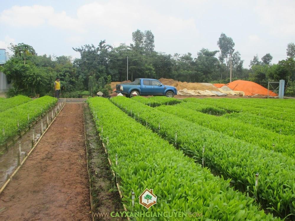 Cây Keo Lai, Cây Xanh Gia Nguyễn, Cây Keo Lai Giống, Cây giống lâm nghiệp, Keo Lá Tràm