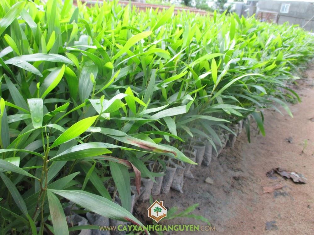 Tràm Bông Vàng, Cây Tràm Bông Vàng, Chuẩn bị trồng cây, Chăm sóc, Phòng chống cháy rừng