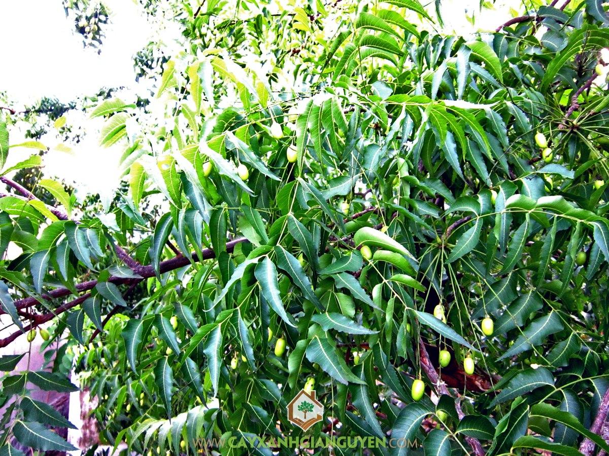 Xoan, Cây Xoan Đào, Vườn Xoan, Chăm sóc và bảo vệ cây, Gỗ Xoan
