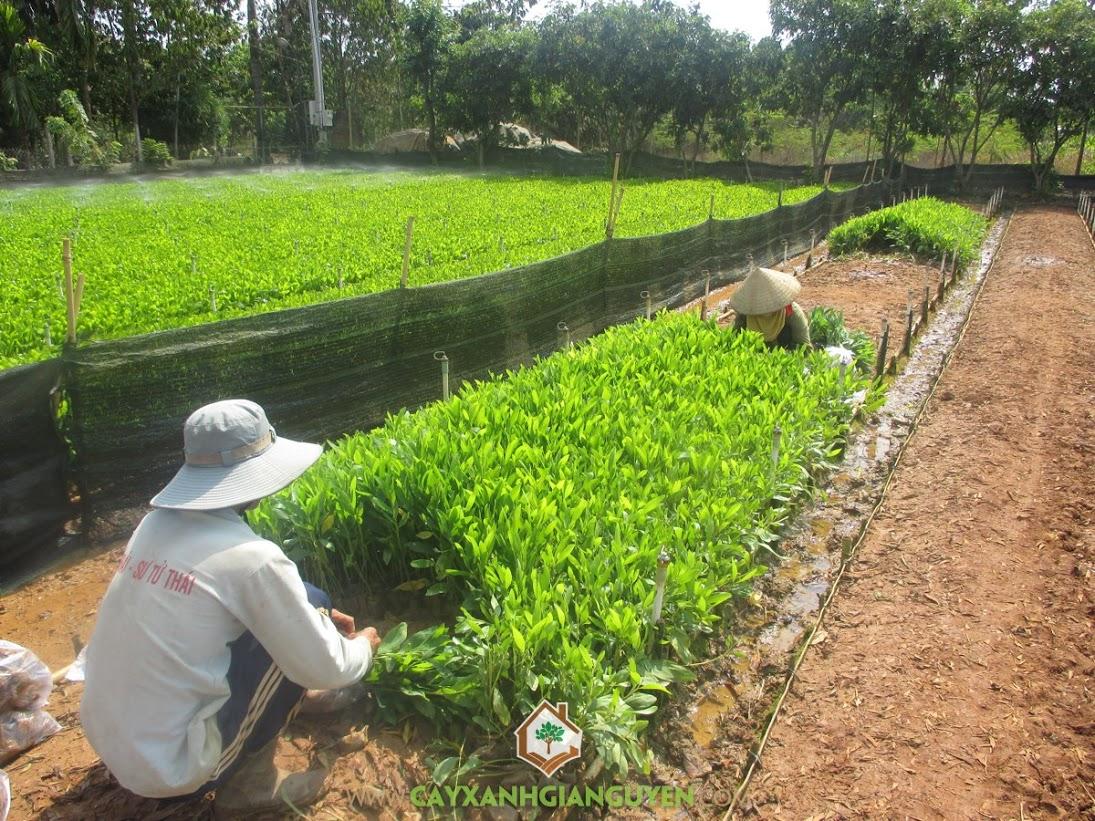Cây Xanh, Trồng cây xanh, Trúc liễu, Cây Thiên Ngân, Cây Gáo Vàng, Cây Keo Lai