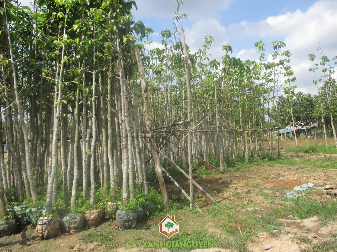 Cây giống Dầu Rái, Cách trồng cây Dầu Rái, Cây Dầu Rái, Dầu Rái, Cây Xanh Gia Nguyễn