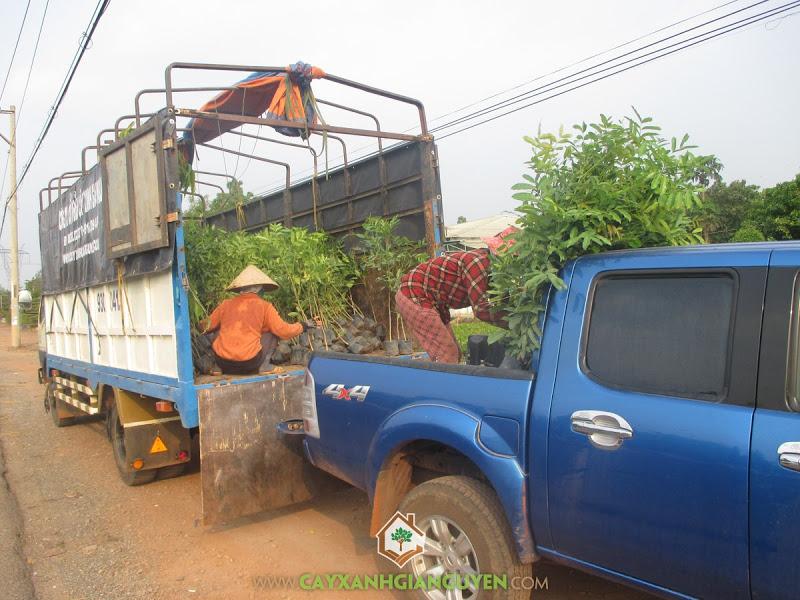 Cây Xanh Gia Nguyễn, Giống cây Xà Cừ, Cây Xà Cừ, Vườn Cây, Xà Cừ