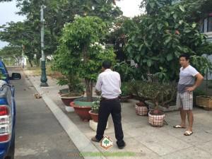 Cây Xanh Gia Nguyễn, Cây Chè Xanh, Trà Xanh, Chè tươi, Vườn ươm cây giống ở Bình Phước