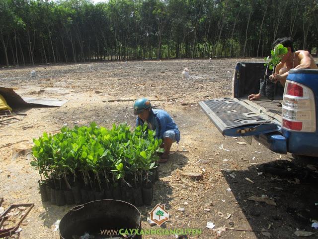Cây Xanh Gia Nguyễn, Cây điều Thái Lan AB05-08, Cây điều Thái giống, Vườn ươm Cây Xanh Gia Nguyễn, Cây Điều
