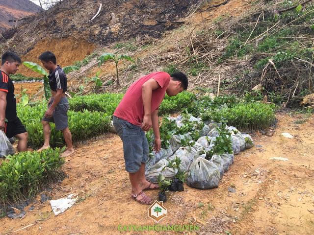 Vườn ươm Cây Xanh Gia Nguyễn, Cây Gáo Vàng, Vỏ cây Gáo Vàng, Kỹ thuật trồng và chăm sóc cây Gáo Vàng, Cây Thiên Ngân