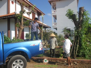 Cây Xanh Gia Nguyễn, Vườn Ươm Cây Xanh Gia Nguyễn, Vườn Cây Ăn Trái, Cây Giáng Hương, Cây Đinh Lăng