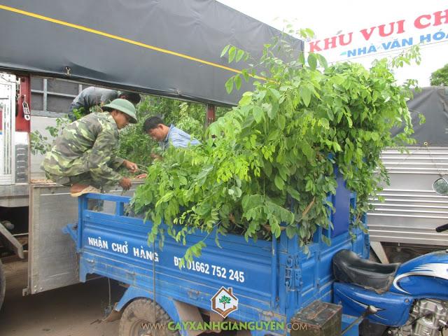 Vườn Ươm Cây Xanh Gia Nguyễn, Cây Gỗ Trắc, Gỗ Trắc, Cẩm Lai Nam Bộ, Cây Xanh Gia Nguyễn