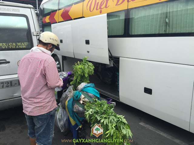 Cây Xanh Gia Nguyễn, Cây Gỗ Sưa, Kỹ thuật trồng cây Gỗ Sưa, Cây Gỗ Sưa Đỏ, Vườn ươm Gia Nguyễn