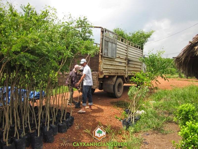 Cây Cẩm Lai giống, Mua Cẩm Lai giống, Cây gỗ lâm nghiệp, Trồng cây bằng hạt, Cây Xanh Gia Nguyễn