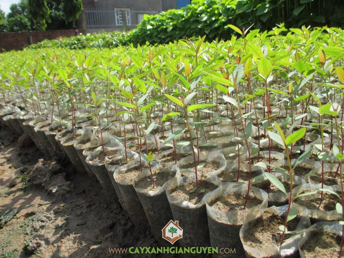 Bạch Đàn, Vườn ươm Gia Nguyễn, Cây Bạch Đàn giống, Giống Bạch Đàn cao sản, Cây lâm nghiệp