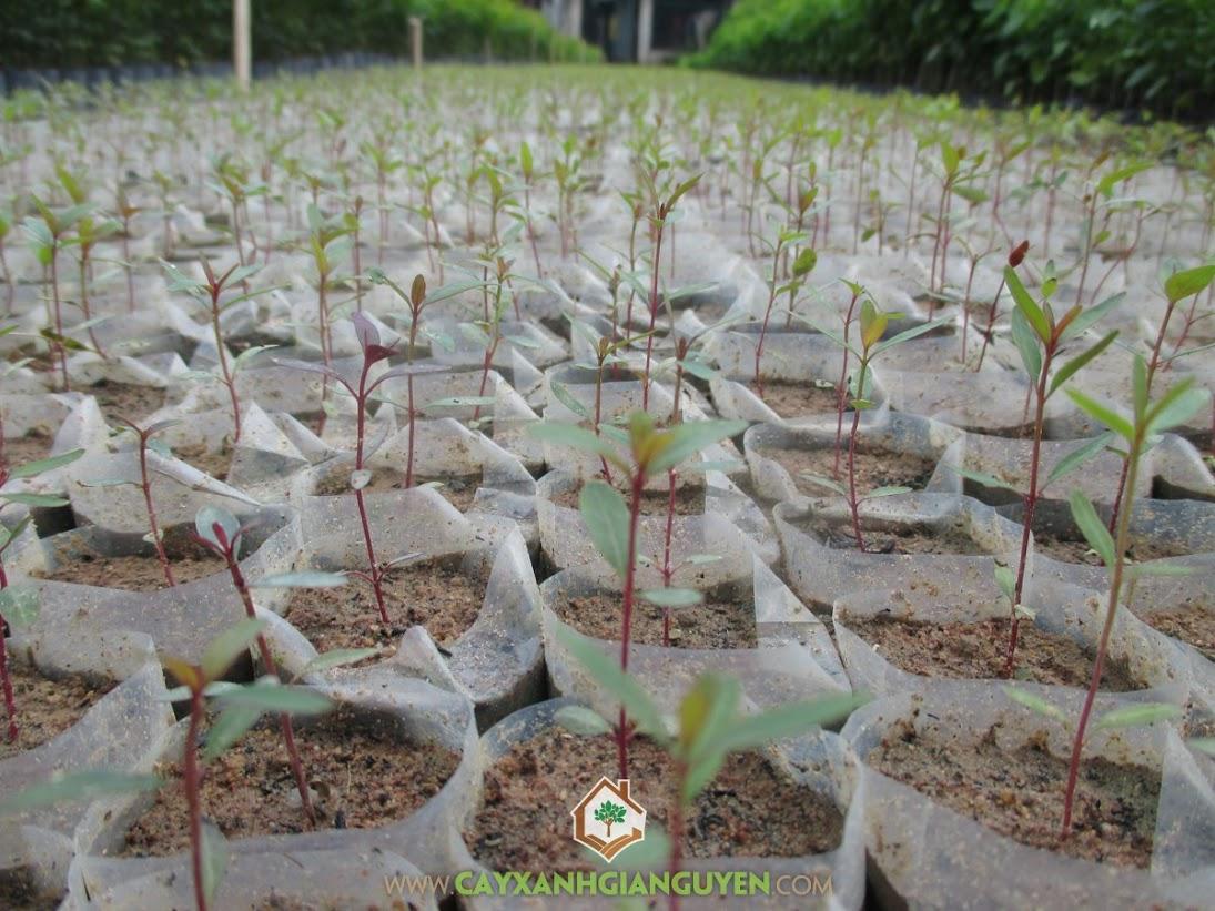 Cây Bạch Đàn, Công ty Cây Xanh Gia Nguyễn, Kỹ thuật trồng cây Bạch Đàn, Cách chăm sóc cây Bạch Đàn, Cây trồng vụ thu đông