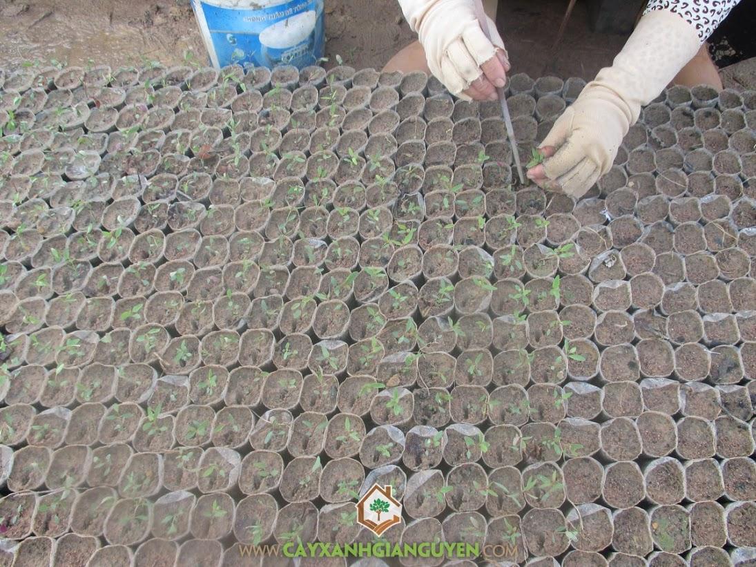 Bạch đàn, Cây lâm nghiệp, Trồng cây giống bạch đàn, Kỹ thuật trồng cây bạch đàn, Vườn ươm cây giống bạch đàn