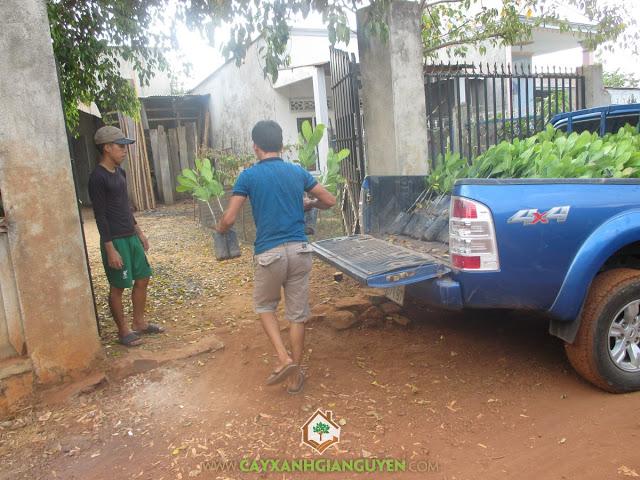 Cây Điều Thái Lan, Cây Xanh Gia Nguyễn, Cây Điều Thái Lan AB29, Trồng cây giống lâm nghiệp, Cây ăn trái