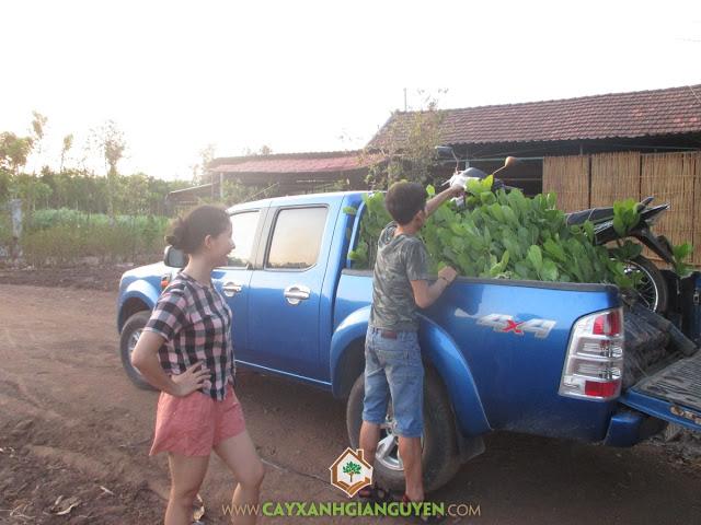 Cây Điều Thái Lan, Cây Xanh Gia Nguyễn, Giống cây lâm nghiệp, Vườn ươm cây ở tỉnh Bình Phước, Cách chăm sóc