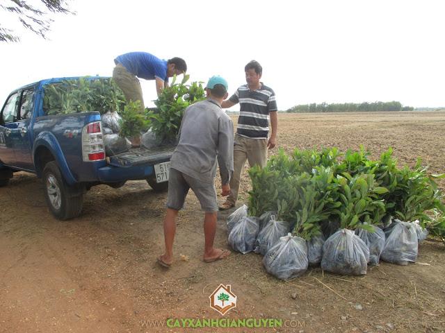 Gia Nguyễn, Cây Xanh, Vườn ươm của Gia Nguyễn, Cây Gáo Vàng, Cây Gáo Vàng Giống