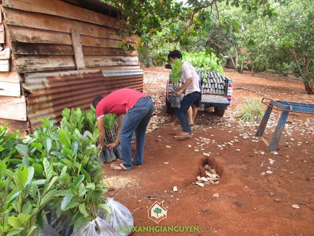 Cây Xanh Gia Nguyễn, Cây Gáo Vàng, Cây Điều Thái Lan, Giống Điều, Giống cây trồng