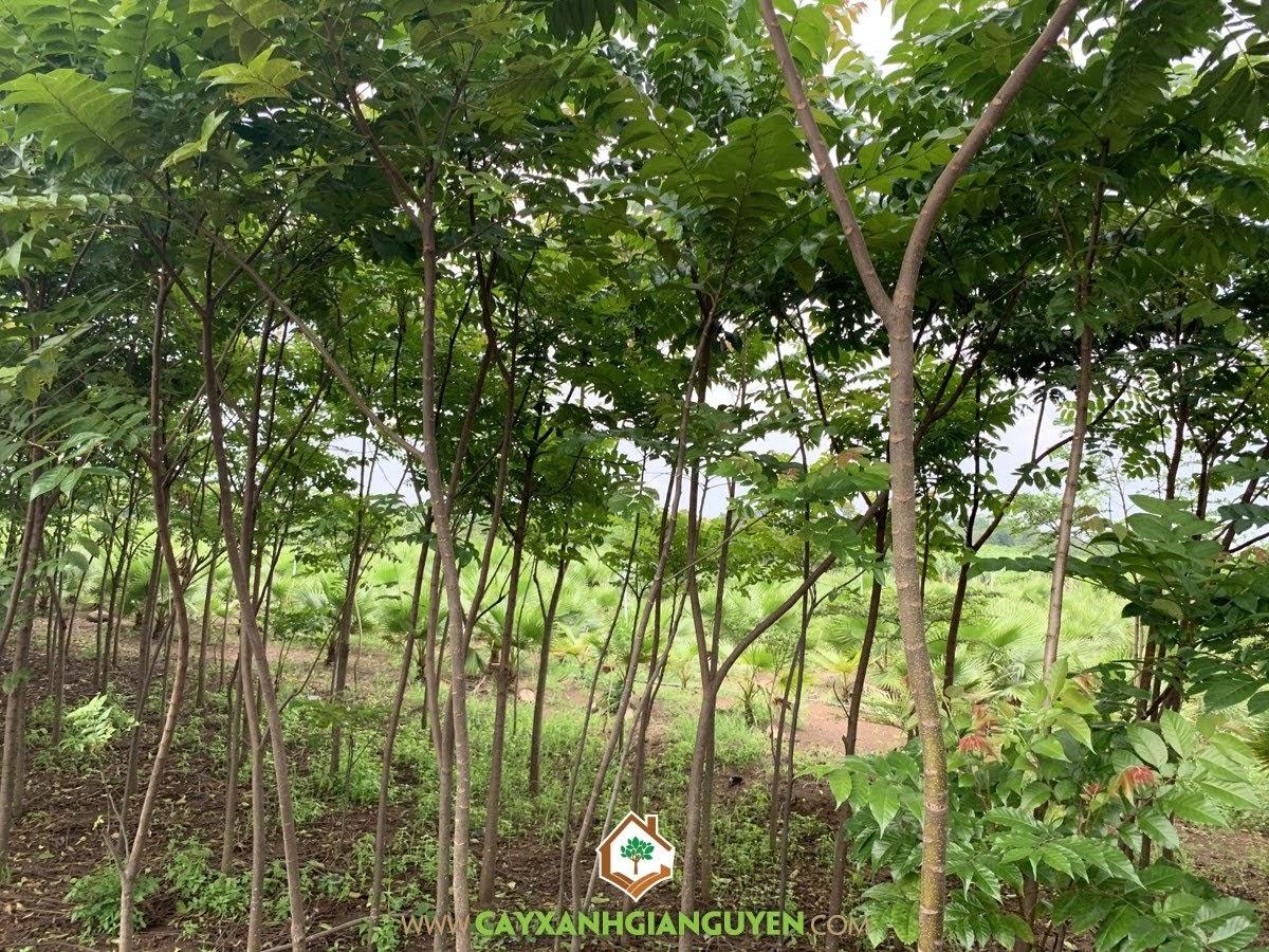Cây Lát Hoa, Cây giống Lát Hoa, Kỹ thuật trồng cây Lát Hoa, Trông Lát Hoa, Cây lâm nghiệp