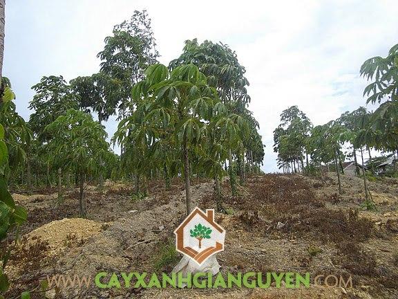 Cây Trôm, Cây trôm trồng, Trồng trôm kết hợp tiêu, Vườn tiêu, Rễ trôm lấy mủ