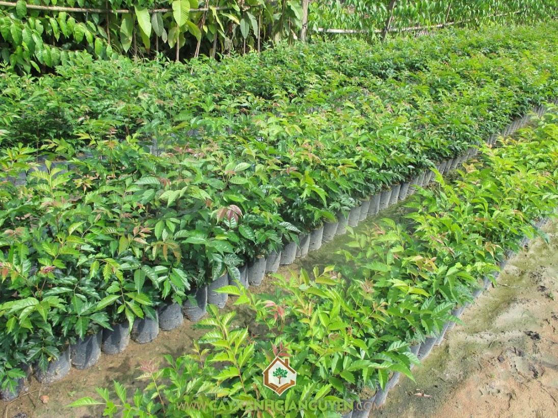 Cây Lát Hoa, Vườn Ươm Gia Nguyễn, Cây giống Lát Hoa, Kỹ thuật trồng và chăm sóc cây, Giống Lát Hoa chất lượng