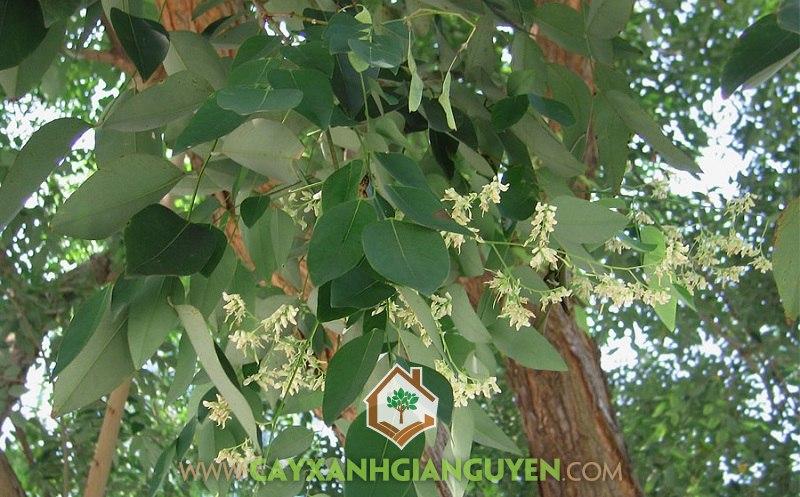 Cây Gỗ Trắc, Cách trồng Cây Gỗ Trắc, Vườn Gỗ Trắc, Giống Gỗ Trắc, Vườn ươm Gia Nguyễn