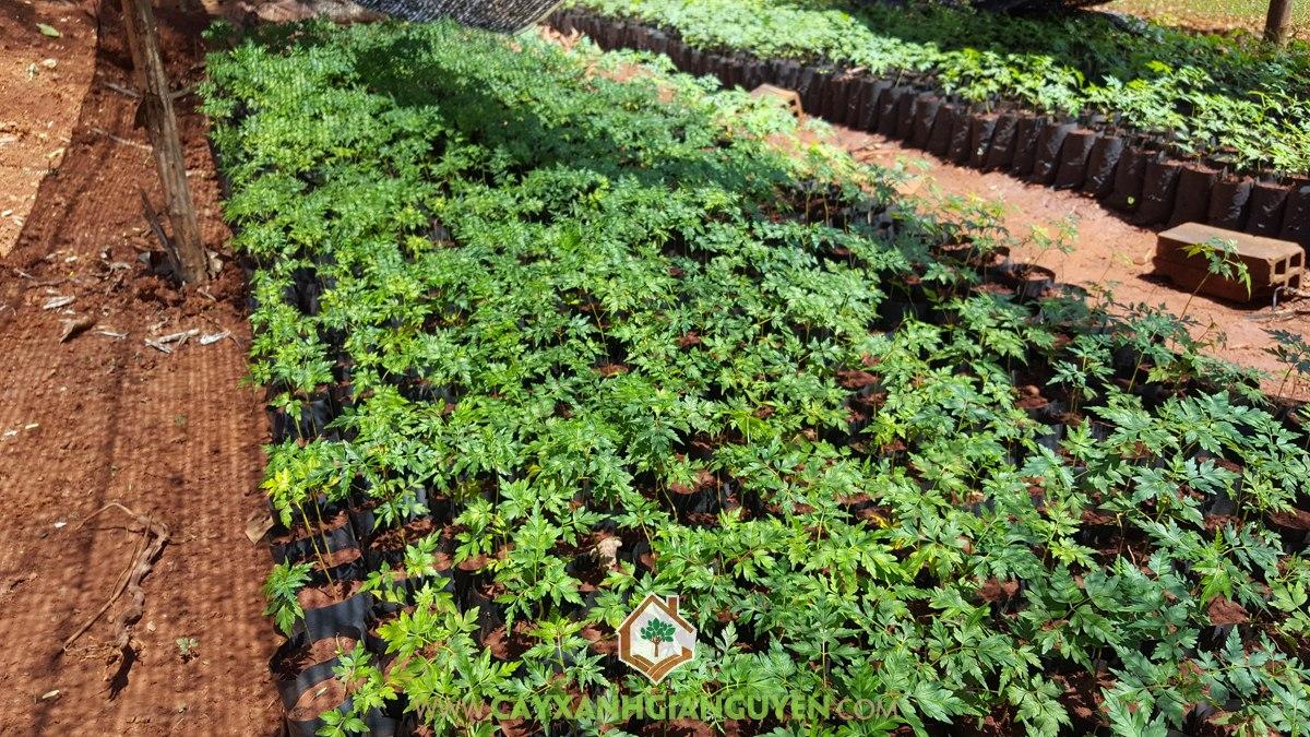 Trồng Cây Xoan Đào, Cây Lâm Nghiệp, Cây Xoan Đào, Trụ trồng Tiêu, Xoan Đào